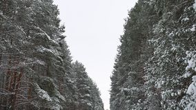 Winter christmas beautiful wild forest trees in the snow tree nature landscape trees apex stock footage