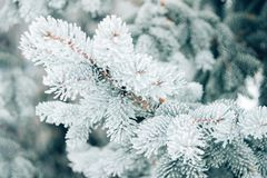 Winter Christmas evergreen tree background. Ice covered blue spruce branch close up. Frost branch of fir tree covered with snow,. Copy space stock photography