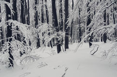 Winter Christmas forest with snow on branches Stock Photos