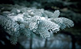 Winter  christmas frost on spruce tree. Close-up .Shallow depth-of-field Stock Photography