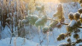 Winter christmas pine tree snow. Merry Christmas and Happy New Year. Winter christmas pine tree snow background. Merry Christmas and Happy New Year stock video footage