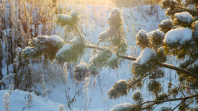 Winter christmas pine tree snow. Merry Christmas and Happy New Year Royalty Free Stock Photos