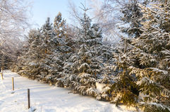Winter Christmas trees Royalty Free Stock Photo