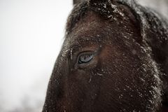 Winter close-up horse portrait Royalty Free Stock Image