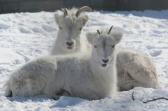 Winter Closeup Of Dall Sheep Ewe And Lamb. Bright winter closeup of a Dall sheep ewe and her lamb, laying down on a thick covering of fresh snow Royalty Free Stock Photo