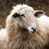 Winter closeup of one calm long wool hair sheep waiting Stock Image