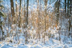 Winter closeup snow on tiny branches. Bush similar like cotton field royalty free stock photos