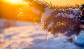 Winter closeup of sunrise orange light. On pine twig with icicles stock photo