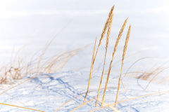 Dry frozen sedge grass with snow Stock Photography