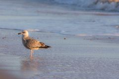 Winter coastal nature. Juvenile gull in winter plumage standing Stock Images