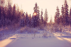 Winter cold day in fir forest Royalty Free Stock Photos
