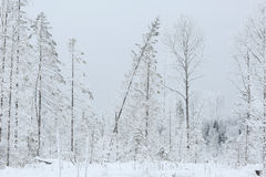Winter cold day in fir forest Stock Photography