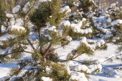Winter cold snow green tree Royalty Free Stock Photos