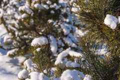 Winter cold snow green tree Royalty Free Stock Photography