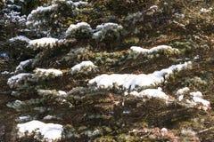 Winter cold snow green tree Stock Photos