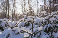 Winter cold snow green tree Royalty Free Stock Images