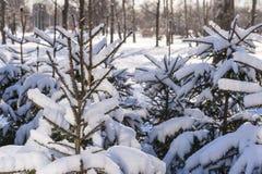 Winter cold snow green tree Stock Image