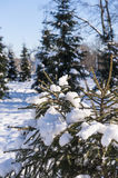 Winter cold snow green tree Royalty Free Stock Photo