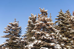 Winter cold snow green tree Stock Photography