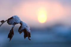 Winter cold sunset. And leaf with snow Royalty Free Stock Image