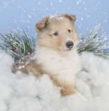 Winter Collie Puppie Stock Photos
