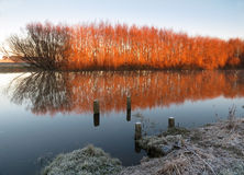 Winter color willows. Clear reflection on the Foxton river loop on a frosty morning Stock Photos