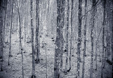 Winter colors beech tree forest background Royalty Free Stock Photos