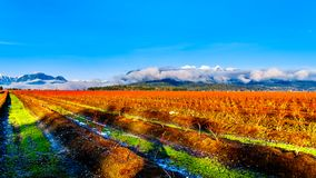 Winter colors of the blueberry fields in Pitt Polder near Maple Ridge in the Fraser Valley of British Columbia, Canada. On a clear and cold winter day. Snow royalty free stock photography
