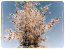 Winter is coming. Close up of reed in winter time Royalty Free Stock Photo