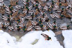 Large number of wild ducks near the shore in early winter. Natural texture. Icy shore stock photo