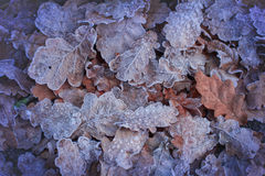 The winter is coming! Beautiful wrinkled oak leaves covered with Stock Photo