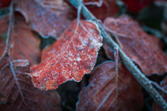 The winter is coming! Closeup leav covered with white frost. Close up red leaves covered with white frost Royalty Free Stock Photo