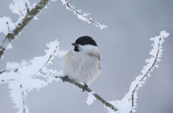 Winter is coming. For this little tit Stock Images