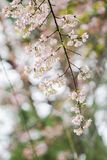 When winter is coming Prunus cerasoides flower was blooming with forest as the background. Prunus cerasoides, when winter is coming, it has blossomed into Royalty Free Stock Images