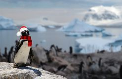 Winter concept a funny penguin wearing a santa claus hat and scarf with his penguin family on the background. A winter concept a funny penguin wearing a santa stock image
