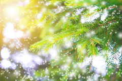 Winter concept. Spruce branches on a colorful background with sparkles and stars. Holidays. Forest and sunlight Stock Photos