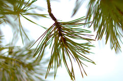 Winter Conifer Background With Snow. Royalty Free Stock Images