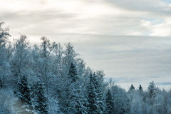 Winter coniferous and birch snowy forest in blue tones. Russia Royalty Free Stock Photo