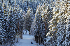 Winter coniferous forest background Royalty Free Stock Photography