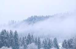 Winter coniferous forest in fog royalty free stock photo