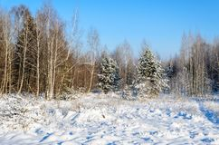 Forest in winter sunny day. Winter. Coniferous forest in frosty and sunny day Royalty Free Stock Images