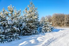 Forest in winter sunny day. Winter. Coniferous forest in frosty and sunny day Stock Photo
