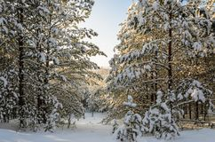 Forest in winter sunny day. Winter. Coniferous forest in frosty and sunny day Royalty Free Stock Photo