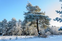 Forest in winter sunny day. Winter. Coniferous forest in frosty and sunny day Stock Photography