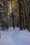 Winter coniferous forest in frozen day stock photo