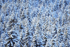 Winter coniferous forest. Natural background. Stock Images