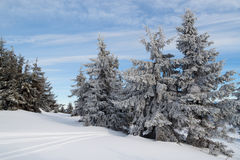 Winter in coniferous forest. Snow covered spruce against the blue sky royalty free stock photography