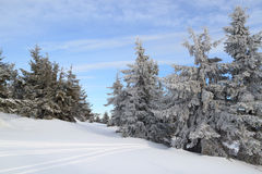 Winter in coniferous forest. Snow covered spruce against the blue sky royalty free stock images