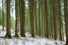 Winter coniferous forest. Snow on the green grass stock photo