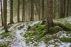 Winter coniferous forest. Snow on the green grass royalty free stock photo